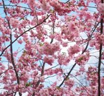 Comment bien tailler un cerisier ?