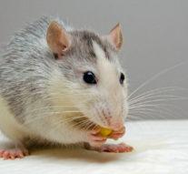 Dératisation Antibes: se débarrasser des souris dans la maison
